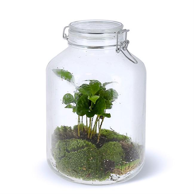 terrarium caféier | nature & découvertes