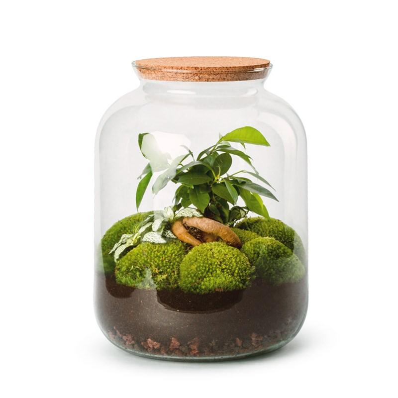 Terrarium Fittonia et Ficus Ginseng