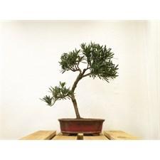 Bonsaï pin des bouddhistes (podocarpus)