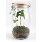 Terrarium 1,5 litres et son caféier