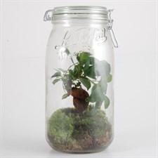 Terrarium 3 litres et son ficus bonsaï